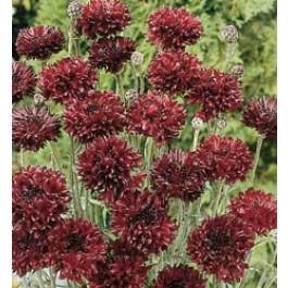 centaurea cyanus double black fast schwarze kornblume saatgut bestellen. Black Bedroom Furniture Sets. Home Design Ideas