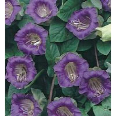 cobaea scandens violett glockenrebe saatgut bestellen. Black Bedroom Furniture Sets. Home Design Ideas