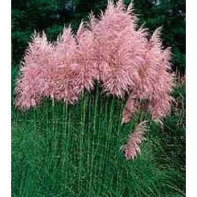 cortaderia selloana pink feather rosa pampasgras. Black Bedroom Furniture Sets. Home Design Ideas