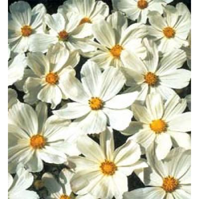cosmos bipinnatus gazebo white schmuckk rbchen kosmee. Black Bedroom Furniture Sets. Home Design Ideas