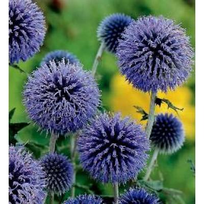 echinops ritro globe thistle blaue kugeldistel. Black Bedroom Furniture Sets. Home Design Ideas