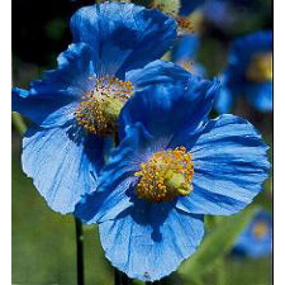 meconopsis betonicfolia blue blauer mohn saatgut kaufen. Black Bedroom Furniture Sets. Home Design Ideas