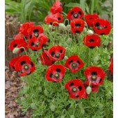 Papaver commulatum Lady Bird
