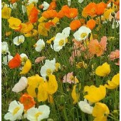 Papaver nudicaule Iceland mix