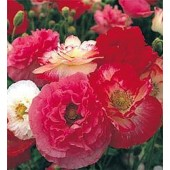Mohn_Papaver_rhoeas_Shirly_ mix