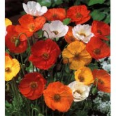 Papaver_nudicaule_Ballerina_Mix_Islandmohn