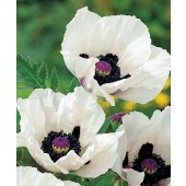 Papaver_orientale_Royal_Wedding_Mohn