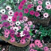 Osteospermum_daisy_mae_Kapkoerbchen